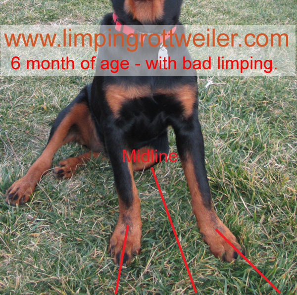 Pictures Of Rottweiler Puppy With Elbow Dysplasia Taken From An Erly
